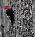 Magellanic Woodpecker (Campephilus magellanicus) (5536073255).jpg