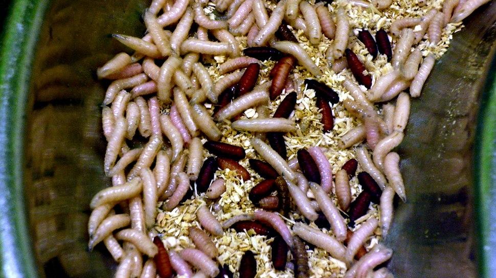 Maggots, London Zoo, London