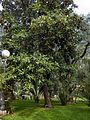 Magnolia grandiflora001.jpg