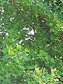 Magnoliales - Liriodendron tulipifera - 2.jpg