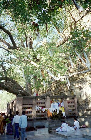 Mahabodhi tree (Sacred Fig) next to the Mahabo...