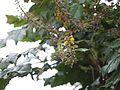 Mahonia leschenaultii (6369860689).jpg