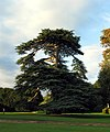 Majestic Tree at Mapledurham House - geograph.org.uk - 241671.jpg