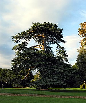 Mapledurham House - Image: Majestic Tree at Mapledurham House geograph.org.uk 241671