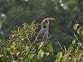 Malabar grey hornbill IMG 2650.jpg