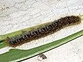 Malacosoma castrense (larva) - Ground lackey (caterpillar) - Молочайный коконопряд (гусеница) (41004265071).jpg