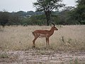 Male Impala Checking Out the Route (48538451981).jpg