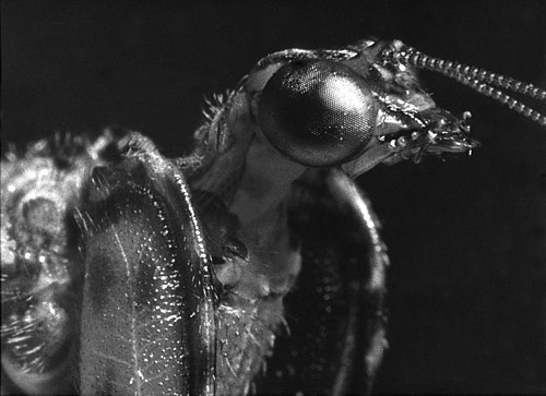 A very close black and white film macrophotograph of a live mantisfly found in the santa rita mountains of arizona in august 1963