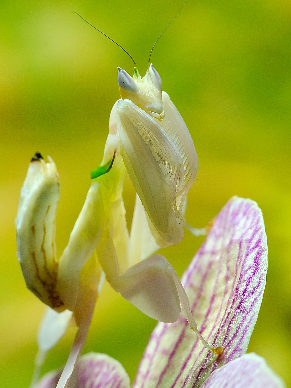 Flower mantis - Wikipedia