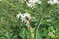 Marmalade hoverfly (Grubigstein) (15494442807).jpg