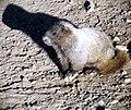 Marmot - panoramio.jpg