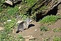Marmota marmota Tauerntal 20160807 C02.jpg