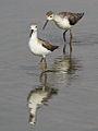 Marsh Sandpiper, Tringa stagnatilis at Borakalalo National Park, South Africa (9900272416).jpg