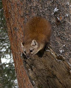 Une martre américaine, dans le parc national de Yellowstone, aux États-Unis
