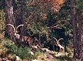 Mascles adults de Capra pyrenaica subsp. hispanica. Ports de Beseit. 80 mts.jpg