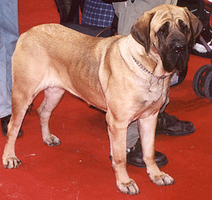 Molosser - A Fila Brasileiro, showing the typical molosser build
