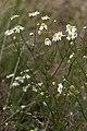 Matricaria maritima-subps-inodora vallee-de-grace-amiens 80 22062007 2.jpg