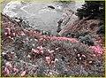 McWay Falls Flowers, Big Sur, Chris (2) (13388020634).jpg
