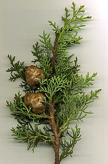 Cupressus sempervirens foliage and cones