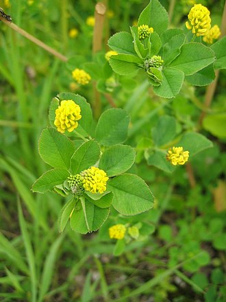 Shamrock - Medicago lupulina flowers in Ireland from May to October and so is not in flower on St. Patrick's Day