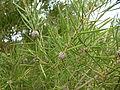 Melaleuca croxfordiae (fruits).JPG