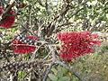 Melaleuca elliptica (flowers).JPG