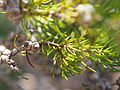 Melaleuca urceolaris (leaves, fruits).JPG