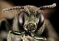 Melanempis scoliiformis,f, madagascar, face 2014-10-11-18.30.14 ZS PMax (15113013313).jpg