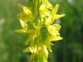 Melilotus officinalis.jpeg