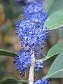 Memecylon umbellatum flowers at Peravoor (16).jpg