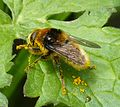 Meroden equestris, covered in pollen - Flickr - gailhampshire.jpg