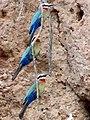 Merops bullockoides.jpg