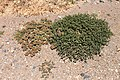 Mesembryanthemum cristallinum & M. nodiflorum (44435813985).jpg