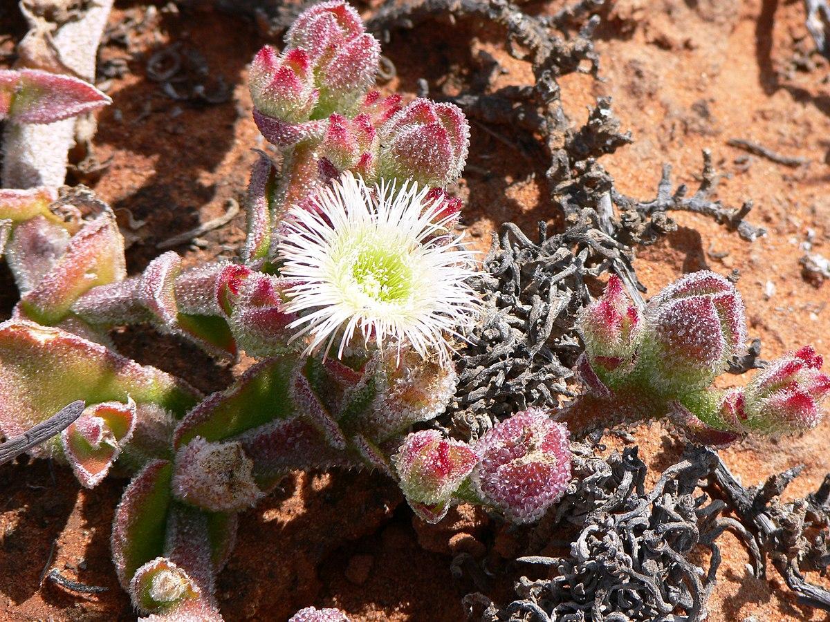 Aizoaceae Wikipedia