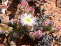 Mesembryanthemum crystallinum.JPG