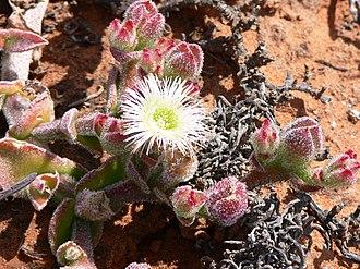 Aizoaceae - Mesembryanthemum crystallinum