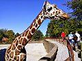 Mesker Park Zoo giraffe.jpg
