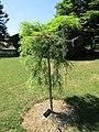 Metasequoia glyptostroboides 'Miss Grace' (28803495975).jpg