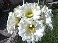 Mi cactus florece una vez al año - panoramio.jpg