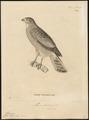 Micronisus badius - 1700-1880 - Print - Iconographia Zoologica - Special Collections University of Amsterdam - UBA01 IZ18300155.tif