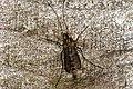 Midge or Mosquito (3409608056).jpg