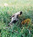 Mockingbird Feeding Chick034.jpg