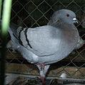 Modena pigeon 2.jpg