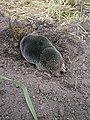 Mole Digging a Hole - geograph.org.uk - 314193.jpg