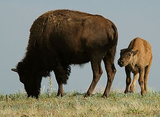 Shortgrass prairie - Mom and calf grazing on the prairie.