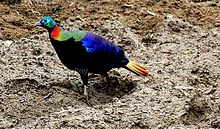 Monal National bird of Nepal.jpg