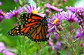 Monarch butterfly - Butterfly Place in Westford, Massachusetts (2).jpg