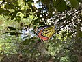 Monarch butterfly at Butterfly Path, Beddagana Wetland Park.jpg