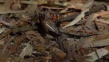 ไฟล์:Monarch butterfly mating.webm