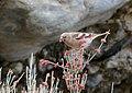 Mongolian Finch (Bucanetes mongolicus) (28953652387).jpg